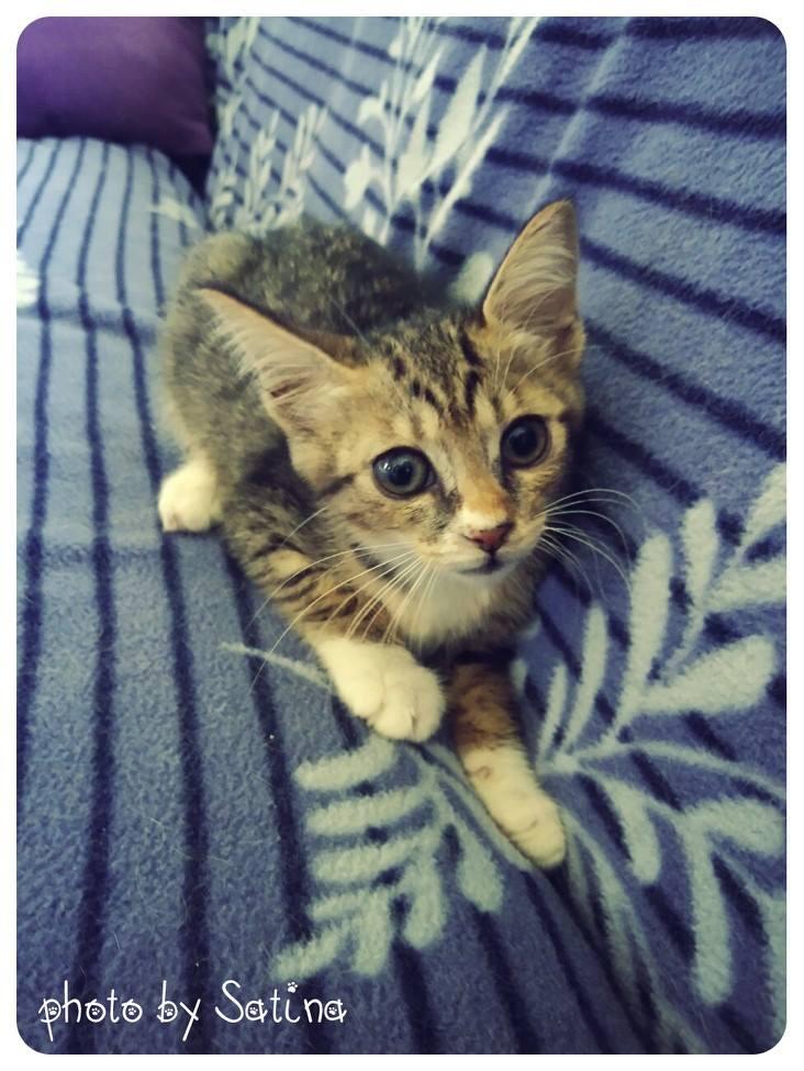 认养相本-- 可爱的小白袜虎斑猫 -- 台北市支持流浪猫