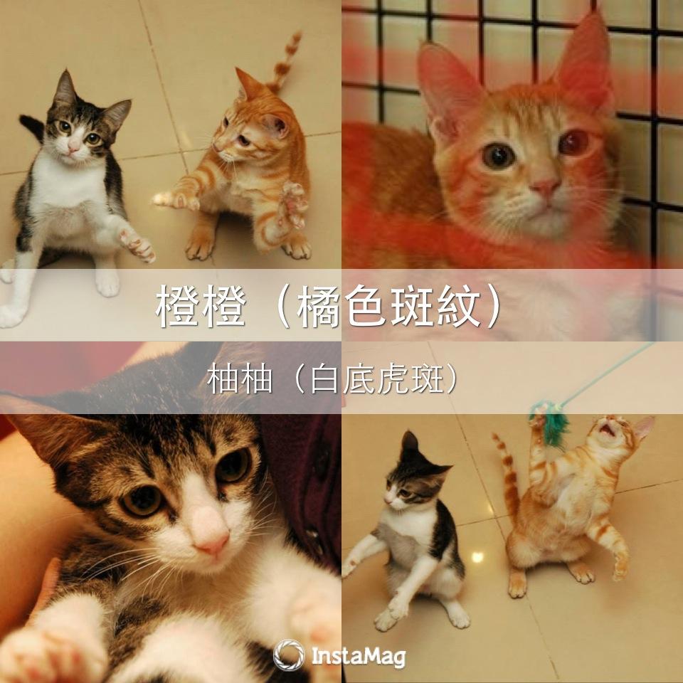 认养相本-- [认养] 美男子幼猫—橙橙&柚柚(可分开,约