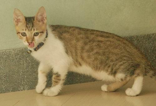 主题: 白底虎斑小男生找家 宠物类别: 猫 年龄: 一岁以下 地点: 桃园