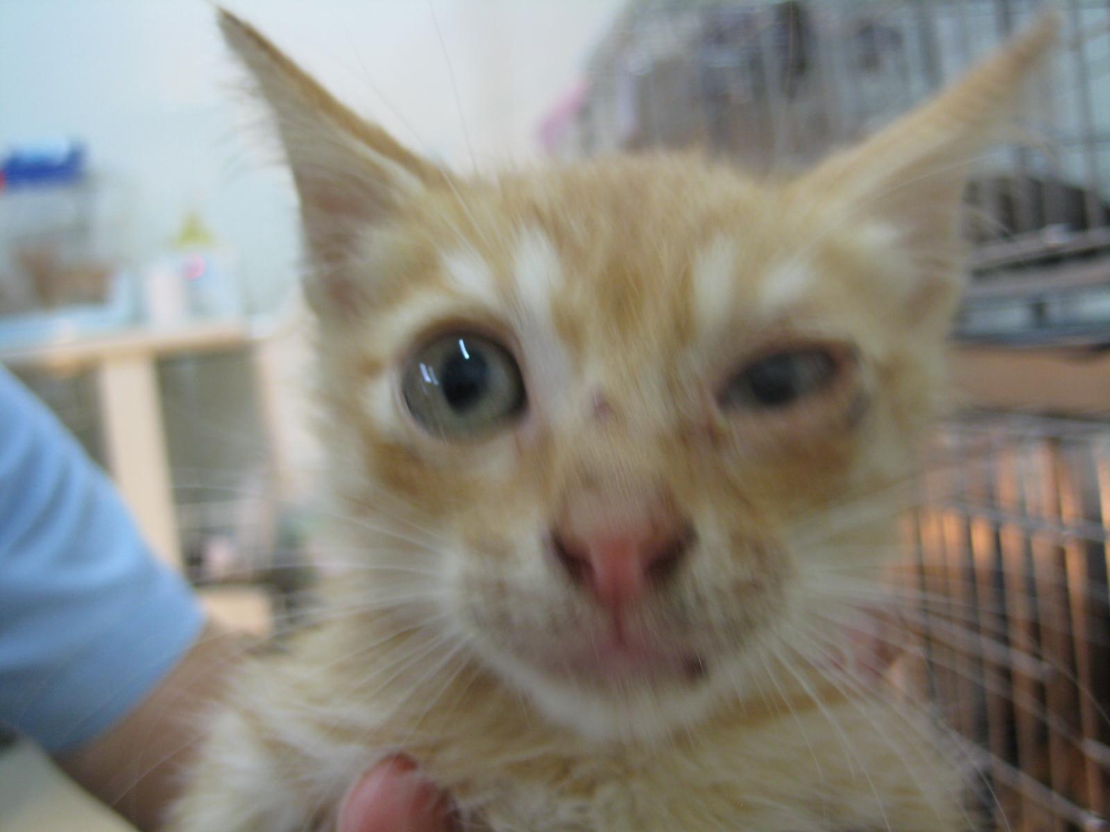 主题: 上呼吸道感染的小幼猫 申请者姓名: sally chang 花色: 橘猫/全